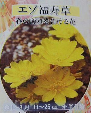 山野草 福寿草  「エゾ福寿草」  2芽