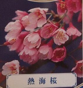熱海寒桜 桜 苗木 苗 あたみかんざくら アタミカンザクラ【庭木 花木 桜 サクラ さくら】