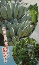 【6月以降順次出荷!】アイスクリームバナナ(ブルージャバ、ブルーバナナ):熱帯果樹苗(耐寒性バナナ)