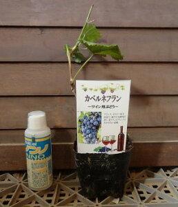 カベルネフラン (挿し木)ぶどう 苗木 苗 ブドウ 葡萄 《果樹苗》