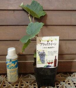 ブラッククイーン  (挿し木)ぶどう 苗木 苗 ブドウ 葡萄 《果樹苗》