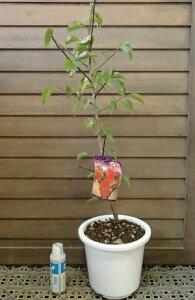 【6寸鉢植え】鹿児島紅梅 花梅 苗木 かごしまこうばい カゴシマコウバイ【庭木 花木 花梅 はなうめ ハナウメ】
