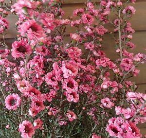 ギョリュウバイ(魚柳梅)八重咲き ピンク花(桃花) 4寸鉢植え