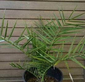 カナリーヤシ(フェニックス)7寸鉢植え