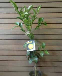 日向夏(ニューサマーオレンジ)《果樹苗》
