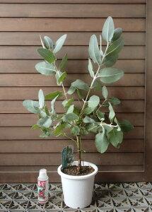 ユーカリ プレウロカルパ (5寸鉢植え)