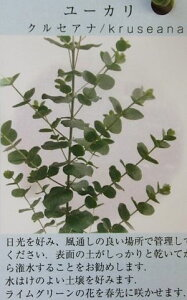ユーカリ クルセアナ 8寸鉢植え