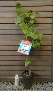キウイフルーツ:ジャンボレッド (メス木) 赤実キウイ《果樹苗》レッドキウイ