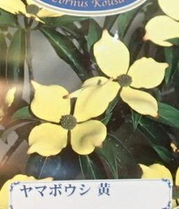 常緑黄花山ボウシ(黄花山帽子) *樹高80〜100センチ程度