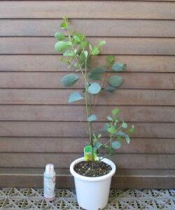 ユーカリ マウンテンスワンプガム 5寸鉢植え
