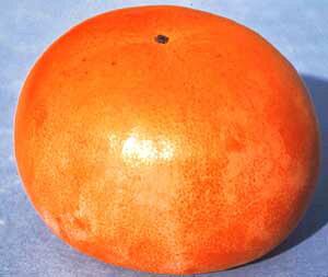 太秋 たいしゅう (甘柿)《果樹苗》