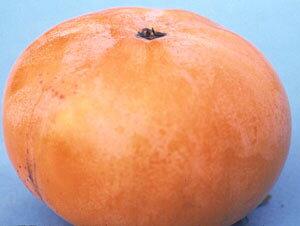 前川早生次郎(柿)《果樹苗》