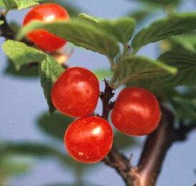 ユスラ梅(赤実)《果樹苗》苗 苗木