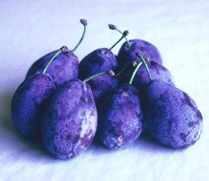 サンプルーン(プラム)《果樹苗》