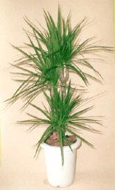 コンシンネ(7寸鉢植え、観葉植物)ドラセナ コンシンネ