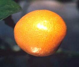 金柑 きんかん キンカン 苗木《果樹苗》