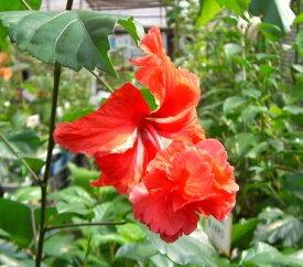 【ハイビスカス】【鉢植え】風鈴ヒビスカス(レッドフラミンゴ)【熱帯植物・トロピカルフラワー・ハワイアンフラワー・ハイビスカス】
