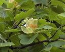 百合の木(ユリノキ)チューリップツリー
