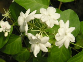ホワイトローズピカケ  一重咲き(4寸鉢)【熱帯植物・ハワイアンレイフラワー・ピカケ・ジャスミン・マツリカ】