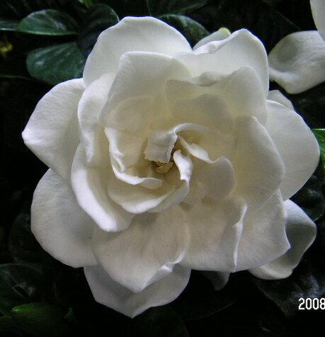 【5寸鉢植え】大輪八重咲きクチナシ