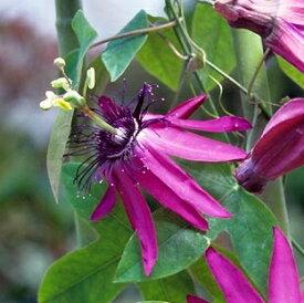 パッシフローラ(ライラックレディー)【熱帯植物・トロピカルフラワー・パッシフローラ・時計草】