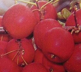 アルプス乙女りんご(乙女リンゴ、姫りんご)《果樹苗》