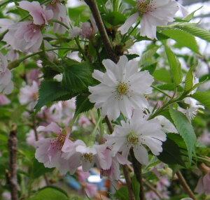 【6寸鉢植え】十月桜 桜 苗木 じゅうがつざくら ジュウガウザクラ【庭木 花木 桜 サクラ さくら】