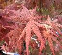 野村紅葉(ノムラモミジ)接ぎ木苗 4寸鉢植え