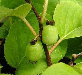 【両性種】大実さるなし(ジャンボサルナシ インパル) 《果樹苗》*1本で実がなります!