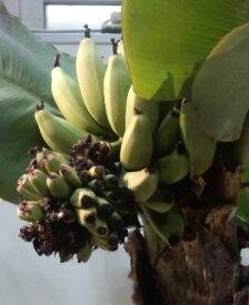 【4月以降出荷予定】ドワーフモンキーバナナ 《熱帯果樹苗》