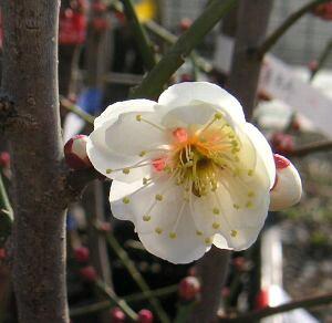 【6寸鉢植え】玉牡丹 花梅 苗木 たまぼたん タマボタン【庭木 花木 花梅 はなうめ ハナウメ】