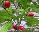 ミラクルフルーツ 《熱帯果樹苗》
