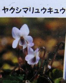 ヤクシマリュウキュウスミレ  スミレ 苗 すみれ 菫(7.5センチポット植え苗)