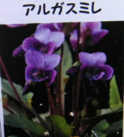 アルガスミレ スミレ 苗 すみれ 菫(7.5センチポット植え苗)