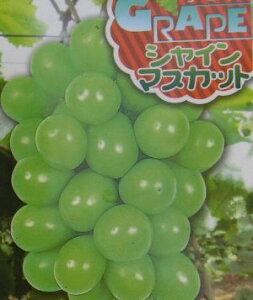 シャインマスカット(ぶどう)挿し木苗 苗木 苗 ブドウ 葡萄《果樹苗》