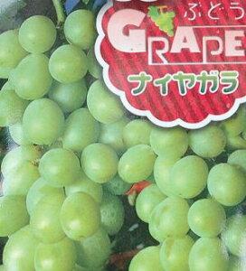 ナイアガラ(挿し木)ぶどう 苗木 苗 ブドウ 葡萄《果樹苗》