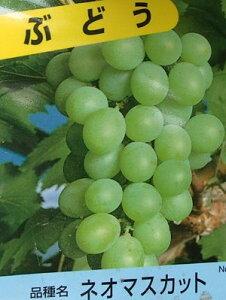 ネオマスカット (挿し木)ぶどう 苗木 苗 ブドウ 葡萄《果樹苗》