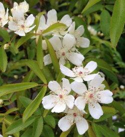 一重咲き 白花 モッコウバラ(木香薔薇)