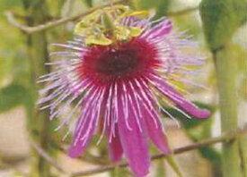 パッシフローラ(カスリノマイ)【熱帯植物・トロピカルフラワー・パッシフローラ・時計草】