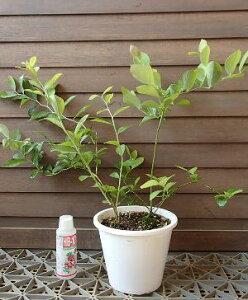 【鉢植え】ブルーベリー2本セット植え 苗木 苗(ラビットアイ系):果樹苗