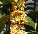 【5寸鉢植え】キンモクセイ 金木犀