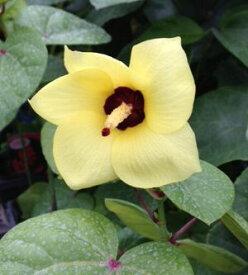 矮性オオハマボウ(ユウナ)5寸鉢植え *樹高15センチ程度