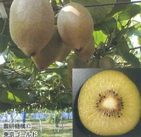【即発送可能】キウイフルーツ(東京ゴールド)(日本産メス木)《果樹苗》