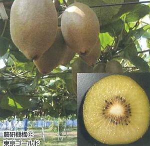 キウイフルーツ(東京ゴールド)(日本産メス木)《果樹苗》