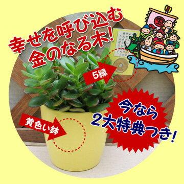 【ご利益植物】金のなる木「☆」