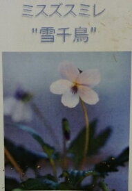 雪千鳥 ミスズスミレ  スミレ 苗 すみれ 菫(7.5センチポット植え苗)