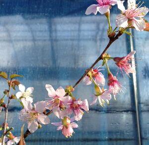 【桜苗木】 ヒマラヤ桜(5寸鉢植え) ヒマラヤザクラ【庭木花木・桜・サクラ・さくら】