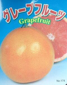 赤実 グレープフルーツ 苗木《果樹苗》