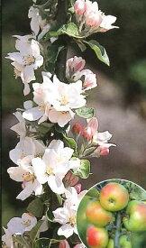 【即出荷可能】りんご バレリーナツリー(ボレロ)《果樹苗》