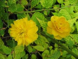 ヤマブキ(山吹)八重咲き 黄斑入り葉
